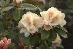 Rhododendron 'Festivo'