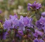 Rhododendron 'Hurricane'