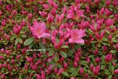 Rhododendron 'Gilbert Mullie' (Azalea)