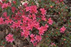 Rhododendron 'Waka kayede' (Azalea)