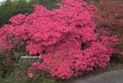Rhododendron 'Favorite' (Azalea)