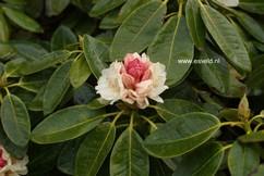 Rhododendron 'Elsie Straver'