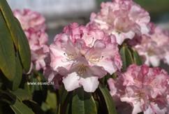 Rhododendron 'Hazel'