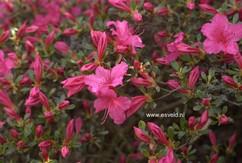 Rhododendron 'Sakura-tsukasa' (Azalea)