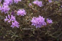 Rhododendron 'Raisa'