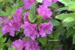 Rhododendron 'Purple Splendor' (Azalea)