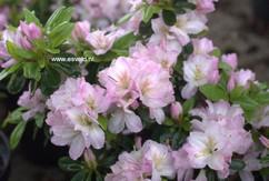 Rhododendron 'Hachneg' (NEGLIGE) (Azalea)