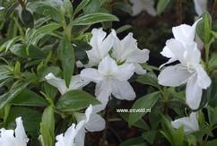 Rhododendron 'Luzi' (Azalea)
