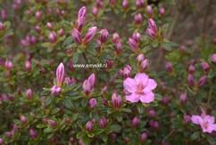 Rhododendron 'Simplon' (Azalea)