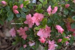 Rhododendron 'Tousen' (Azalea)