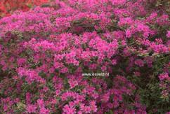 Rhododendron 'Amoenum' (Azalea)