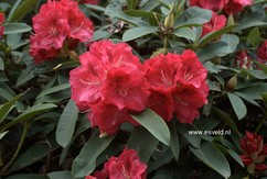 Rhododendron 'Wilgens Ruby'