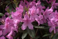 Rhododendron 'Jocking'