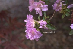 Rhododendron 'Elsie Lee' (Azalea)