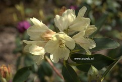 Rhododendron 'Stadt Westerstede'