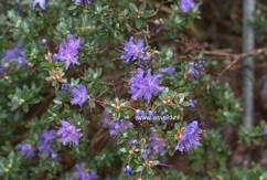 Rhododendron telmateium