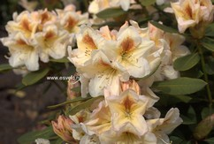 Rhododendron 'Forlana'