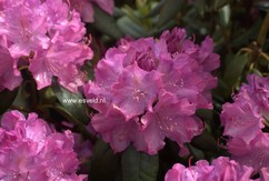 Rhododendron 'English Roseum'