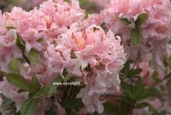 Rhododendron 'Soir de Paris' (Azalea)