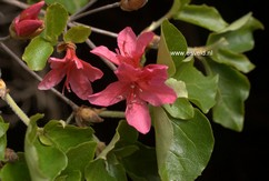 Rhododendron amagianum