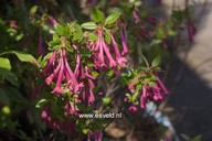 Abelia floribunda