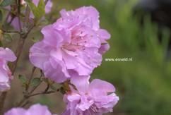 Rhododendron 'Yodogawa' (Azalea)