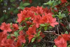 Rhododendron 'Brunella' (Azalea)