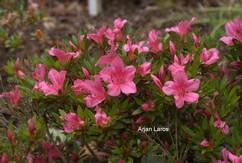 Rhododendron 'Chinzan' (Azalea)
