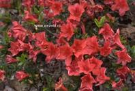 Rhododendron nakaharae 'Joseph Hill'