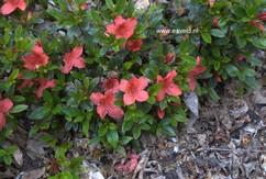 Rhododendron nakaharae 'Exbury Orange'