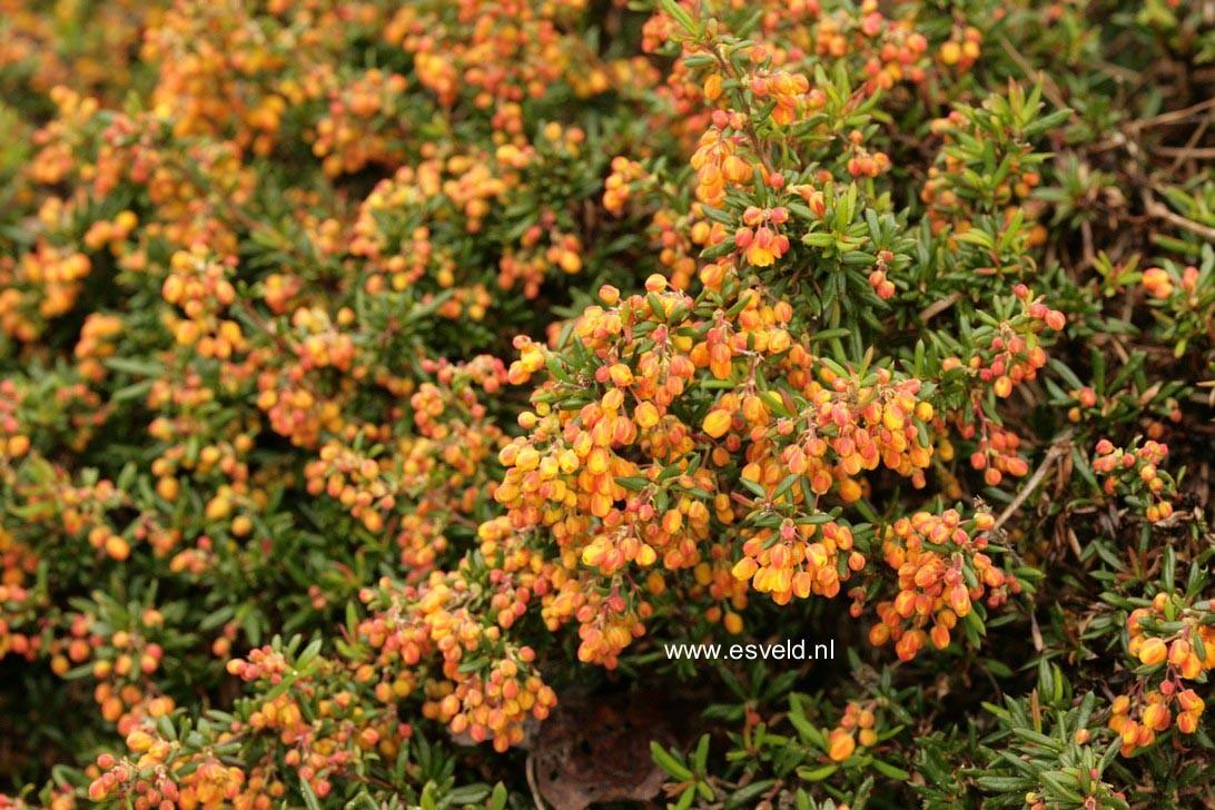 Berberis stenophylla 'Corallina Compacta'