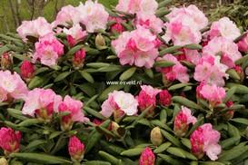 Rhododendron 'Crete'