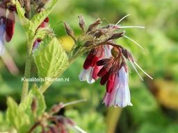 Symphytum grandiflorum 'Miraculum'