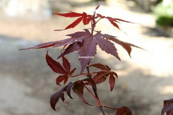 Acer palmatum 'Burgundy Flame'