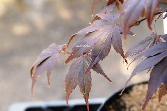 Acer palmatum 'Red Wonder'