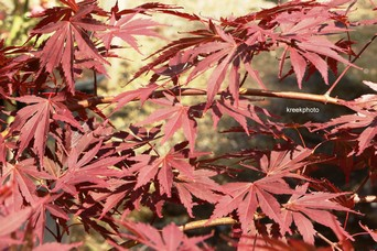 Acer palmatum 'Uta-hime'