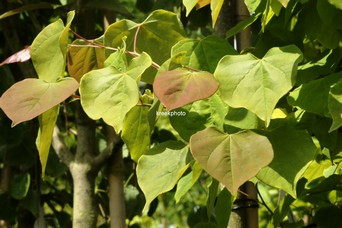 Cercis canadensis 'Royal White'