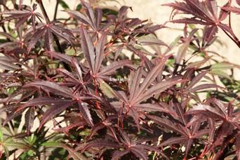 Acer palmatum 'Rite of Spring'