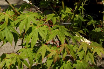 Acer palmatum 'Bump's Red Seed'