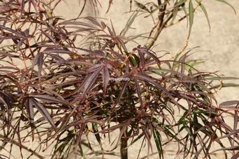 Acer palmatum 'Wentachee Red'