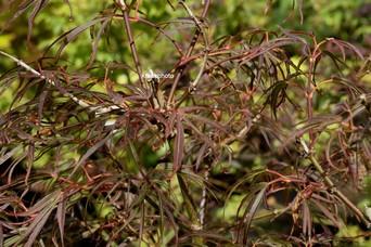Acer palmatum 'Red Falcon'