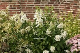 Hydrangea paniculata 'Pee Wee'