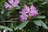 Rhododendron superponticum