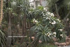 Pagypodium