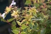 Abelia grandiflora 'Happy Daydream'