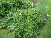 Hydrangea anomala 'Brookside Littleleaf'