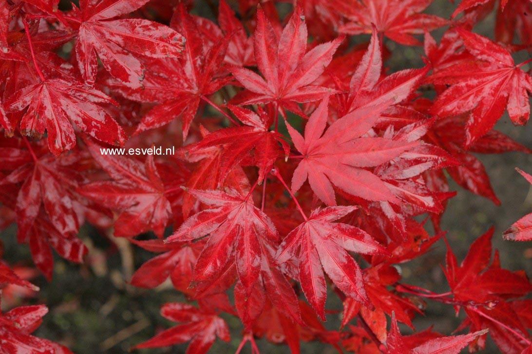 Acer palmatum 'Muro-gawa'