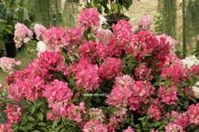 Hydrangea paniculata 'Rendia' (DIAMOND ROUGE)