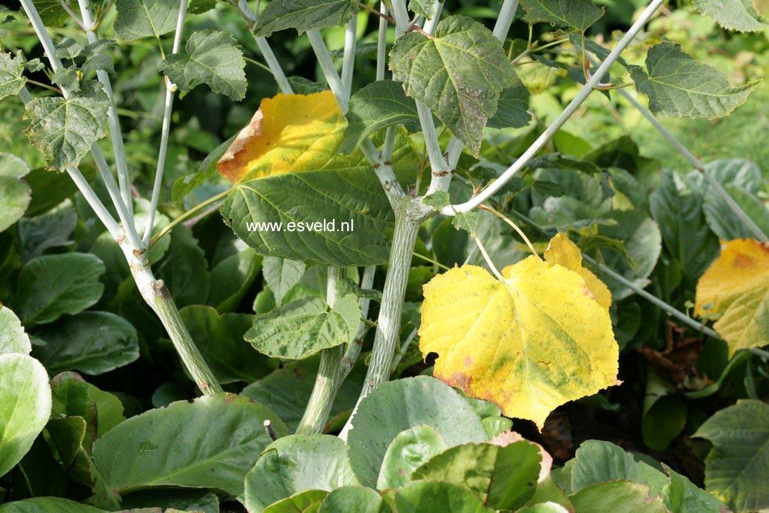Acer tegmentosum 'Valley Phantom'