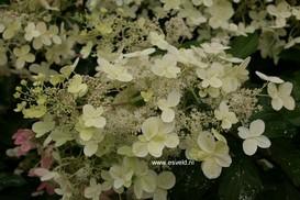 Hydrangea paniculata 'Savill Lace'